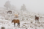 James BO  Insogna - Rocky Mountain Horses Snow and Fog