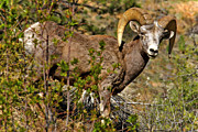 Jason Bates - Rocky Mtn Ram