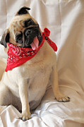 Pugs Posters - Rodeo Ready Poster by Jan Amiss Photography