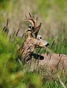 Roe Deer Print by Dragomir Felix-bogdan