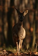 Roe Deer Female Print by Dragomir Felix-bogdan