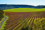 Wine Grapes Photo Prints - Rolling Hills and Vineyards Print by CML Brown