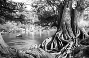 Brunch Prints - Rolling Roots of Bald Cypress Tree Print by Ellie Teramoto