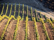 Wine Vineyard Photo Originals - Rolling Vineyard by Jan Massie