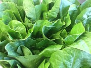 Salad Photos - Romaine Lettuce by Brian  Hanna