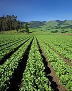 Romaine Photos - Romaine Lettuce Field by Craig Lovell