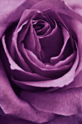 Purple Rose Framed Prints - Romance III Framed Print by Angela Doelling AD DESIGN Photo and PhotoArt