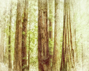 Nature Scene Mixed Media Prints - Romantic forest Muir Woods National Monument California Print by Marianne Campolongo