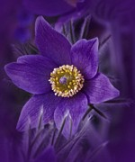 Pulsatilla Vulgaris Prints - Romantic Pasque Print by Richard Cummings