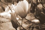 Romantic Vintage Magnolia Print by Kay Novy