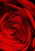 Heart Of The Rose Metal Prints - Romantique Metal Print by Barbara Chichester