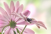Asteraceae Photos - Romeo and Juliet by John  Poon