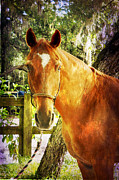 Forelock Photo Posters - Romeo Poster by Judy Hall-Folde