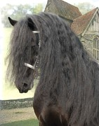 Friesian Photo Posters - Romke  Poster by Fran J Scott
