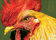 Colored Pencil Painting Metal Prints - Rooster Metal Print by Kelly Gilleran
