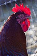 Feathers Photos - Rooster with bright red comb by Garry Gay