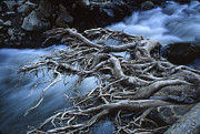 Tree Roots Photos - Roots Over Ozark Stream by Garry McMichael