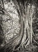 Tree Roots Photo Prints - Roots Print by Paul Cowan
