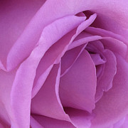 Focal Color Art Photos - Rose 10-1 by Ann Pelaez