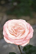 Rose 195 Print by Pamela Cooper