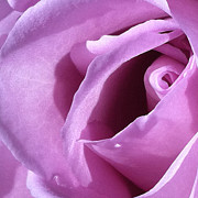 Focal Color Art Photos - Rose 2-1 by Ann Pelaez