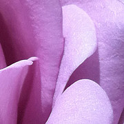 Focal Color Art Photos - Rose 2-8 B by Ann Pelaez