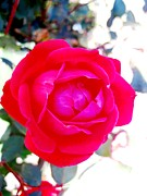 Kitchen Photos Prints - Rose 2 Print by Will Boutin Photos