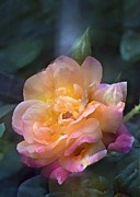 Multicolored Roses Prints - Rose 218 Print by Pamela Cooper