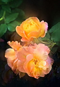 Multicolored Roses Prints - Rose 221 Print by Pamela Cooper