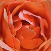 Peach Photos - Rose Abstract by Rona Black