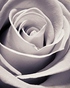 Black-and-white Metal Prints - Rose Metal Print by Adam Romanowicz
