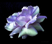 Purple Metal Prints - Rose Awakening Floral Metal Print by Jennie Marie Schell