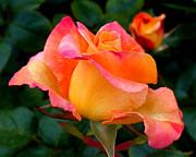 Rose Beauty Print by Rona Black