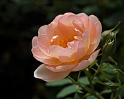 Peach Photos - Rose Blush by Rona Black