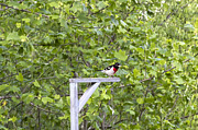 Michael Waters - Rose-Breasted Grosbeak