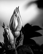 Black And White Posters - Rose Bud Poster by Bob Orsillo