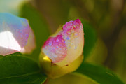 Flower Design Photo Prints - Rose Bud Print by Cheryl Young