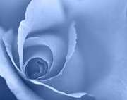 Kitchen Photos Prints - Rose Close Up - Blue Print by Natalie Kinnear