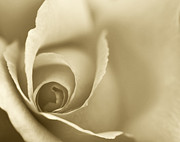 Nature Study Digital Art Prints - Rose Close Up - Gold Print by Natalie Kinnear