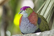 Dove Photo Posters - Rose-Crowned Fruit Dove Poster by Douglas Barnard