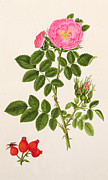 Rose Garden Paintings - Rose Eglanteria by T Goetz