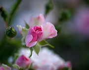 Colorful Roses Photos - Rose Emergent by Rona Black