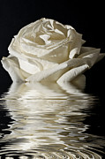 Rose Flood Print by Steve Purnell