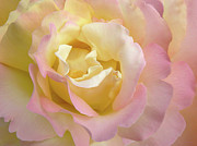 Soft Yellow Prints - Rose Flower Parfait Print by Jennie Marie Schell