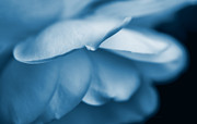Jennie Marie Schell Art - Rose Flower Petals Blue by Jennie Marie Schell