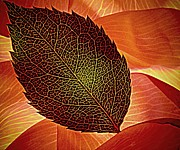 Rose Foliage On Rose Petals Print by Chris Berry