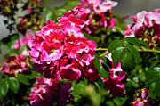 Susanne Van Hulst - Rose Garden 3