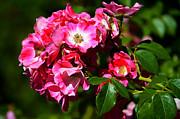 Susanne Van Hulst - Rose Garden 4
