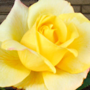 Janice Sakry - Rose Garden Yellow...