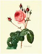 Antique Digital Art Posters - Rose Poster by Gary Grayson